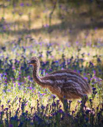 Emu chick at Arkaba