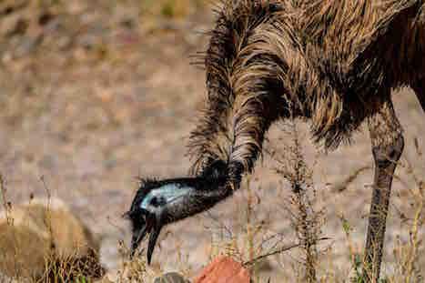 Arkaba emu