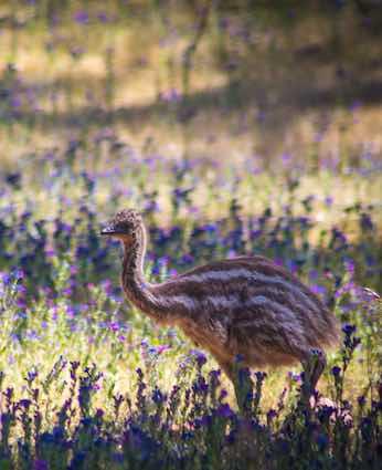 Emu chick at Arkaba