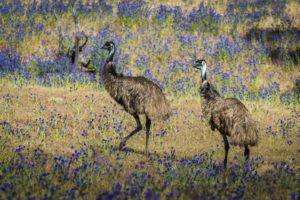 Emus roaming free – Richard IÁnson