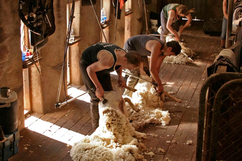 Shearing sheep at Arkaba
